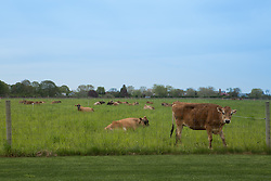 cows behind a fence in The Hamptons