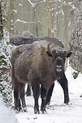 EUROPEAN BISON  Bison bonasus, FEEDING ON A WINTER SUPPLEMENT OF HAY IN THE BIALOWIEZA FOREST IN POLAND