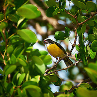 Lesser Kiskadee on Bonaire. Image taken with a Nikon D3s and 70-300 mm VR lens (ISO 200, 300 mm, f/5.6, 1/500 sec).