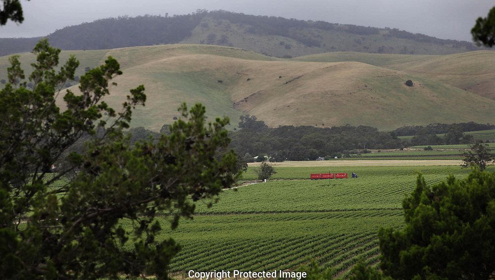 Grape vines growning in the Barossa Valley in Australia.  photograph by Dennis Brack.