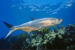 Atlantic tarpon, Megalops atlanticus, grows up to 2 m (6.6 ft) in length and could weigh 160 kg (350 lb), Looe Key, Florida Keys National Marine Sanctuary, USA, Atlantic Ocean