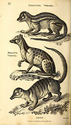 Weasels from General zoology, or, Systematic natural history Part I, by Shaw, George, 1751-1813; Stephens, James Francis, 1792-1853; Heath, Charles, 1785-1848, engraver; Griffith, Mrs., engraver; Chappelow. Copperplate Printed in London in 1800. Probably the artists never saw a live specimen