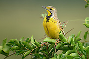The plumage on this Yellow-throated Longclaw is remarkable similar to the colors and patterns on an Eastern Meadowlark even though they are not closely related.