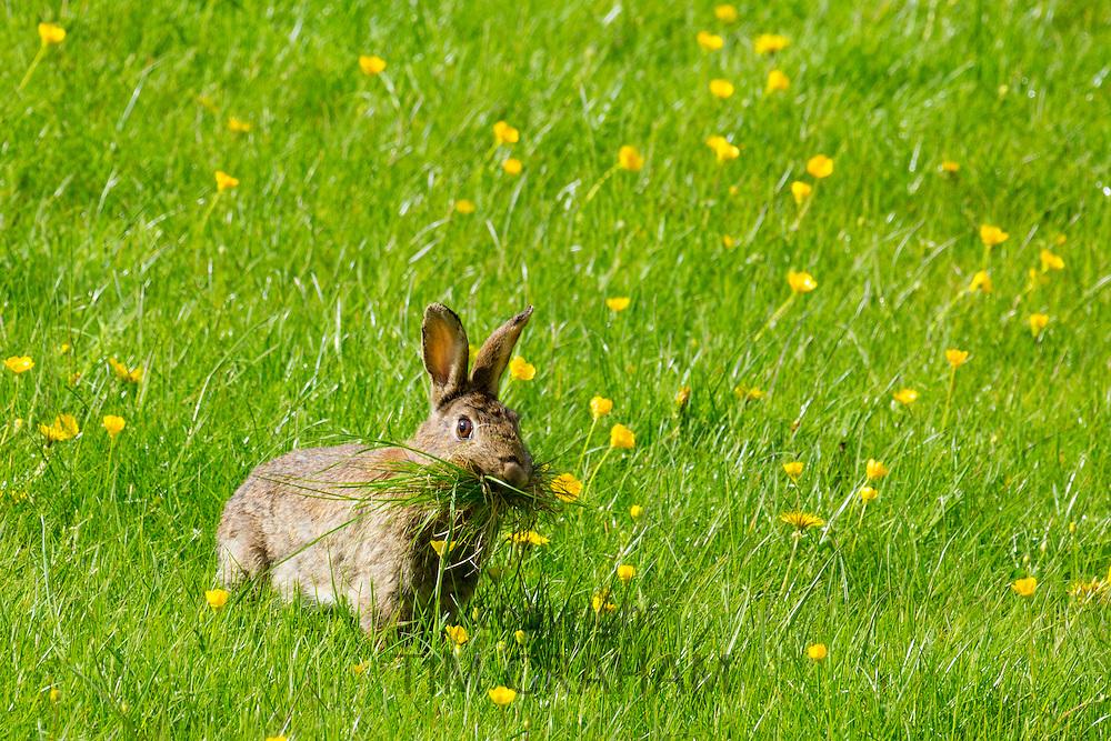 Wild rabbit munching grass in a field of buttercups, UK
