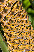 Close-up abstract of a male cone of a Cardboard palm (Zamia furfuracea) showing the pattern and intricate structure of the cone itself growing in the Gardens of La Mortella, Ischia, Italy