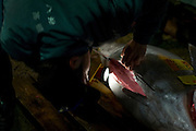Looking inside a tuna at the daily auction at the Tokyo Metropolitan Central Wholesale Market or Tsukiji Fish Market is the largest fish market in the world.
