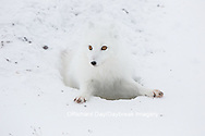 01863-01713 Arctic Fox (Alopex lagopus) at food cache, Cape Churchill, Wapusk National Park, Churchill, MB Canada