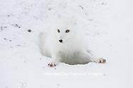 01863-01713 Arctic Fox (Alopex lagopus) at food cache, Cape Churchill, Wapusk National Park, Churchill, MB Canada