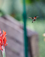 Ruby-throated Hummingbird feeding on a Canna. Image taken with a Nikon D6 camera and 80-400 mm VRII lens.