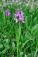 NARROW-LEAVED MARSH-ORCHID Dactylorhiza traunsteineri (Orchidaceae) Height to 50cm<br /> Delicate orchid of fens and marshes. FLOWERS are pinkish purple, the well-marked lip 3-lobed with the central lobe longer than side ones; borne in short, open and few-flowered spikes (May-Jun). FRUITS are egg-shaped. LEAVES are narrow, lanceolate, keeled and usually unspotted. STATUS-Very local in England, Wales and Ireland.