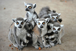 April 25, 2017 - Qingdao, Qingdao, China - Qingdao, CHINA-April 25 2017: (EDITORIAL USE ONLY. CHINA OUT)..Ten newborn lemurs can be seen at a zoo in Qingdao, east China's Shandong Province, April 25th, 2017. (Credit Image: © SIPA Asia via ZUMA Wire)