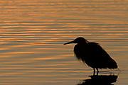 Reddish Egret in silhouette at sunrise.(Egretta rufescens).Bolsa Chica Wetlands, California
