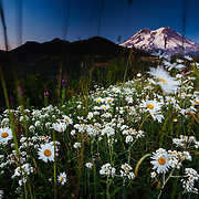Pearly Everlasting and Cutleaf Daisy with Mount Rainer in the Distance at sunset.