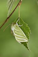 Green Silver-lines - Pseudoips prasinana