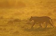 African lion, Panthera leo, female, Serengeti NP, Tanzania