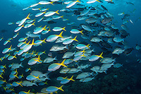 Fusiliers, Surgeonfishes, and Emperors Schooling..Shot in Indonesia..