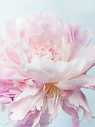 Paeonia lactiflora 'Pure Delight' - peony