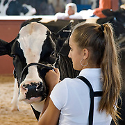 Teenager Showing a Holstein Cow at the Dutchess County Fair in Rhinebeck, NY