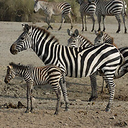 Burchell?s Zebra (Equus burchelli) Mother with young. During migration in Serengeti National Park, more than 200,000 zebras migrate along side one million wildebeest and 300,000 Thomson's gazelles. Tanzania. Africa. February.