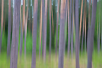 Pine forest impression, near Vilnius, Lithuania. Mission: Lithuania, May 2009