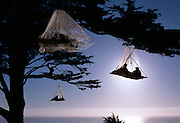 Three porta-ledges made by North Face with mosquito netting on the California Coast near Elk, California.  Connie Sinclair is in the furthest tree.  In the topmost ledge is her daughter Holly (right) and Katie Lewis left.  In the other is Gerald Beranek of Fort Bragg, California and Jane Sinclair.  The property is on on Bill and Cynthia Courtney of the Elk Guest House.