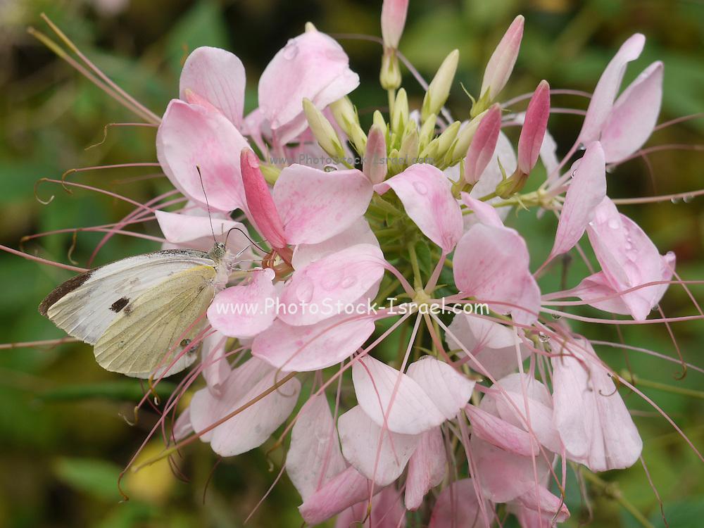 Turkey, Trabzon Province, pink wildflower