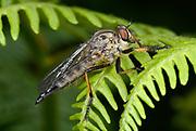 Close-up of a female Common awl robberfly (Neoitamus cyanurus) resting on bracken in a Norfolk woodland habitat in summer.