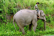 An Asian elephant and its mahout walking along the roadside in Sayaboury province, Lao PDR. Traditionally used for work in the forest, Sayaboury province is famous for its elephants but due to loss of its forest habitat, the Asian elephant is now endangered in the wild.
