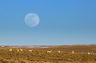 Full moon, pronghorn antelope, Farson Wyoming.