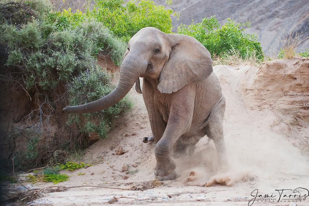 A desert-dwelling elephant (Loxodonta africana) sliding down a steep sand embankment and then falling, Skeleton Coast, Namibia