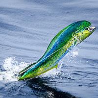 Dorado/Mahi-Mahi jumping in vivid colours offshore Lobito, Angola