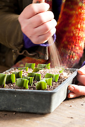 Taking leaf cuttings from Eucomis 'Sparkling Burgundy'. Pineapple lily. Adding grit