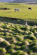 Icelandic horses grazing near Reykjavik, Iceland.