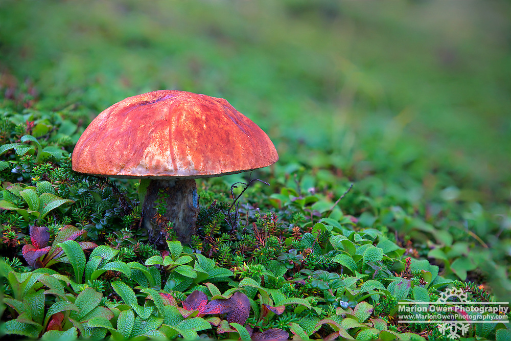 Mushroom blooms through alpine moss, lichens and berries on Pillar Mountain, Kodiak, Alaska