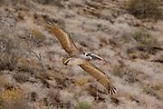 A brown pelican (pelecanus occidentalis) in flight. Floreana Island, Galapagos Archipelago - Ecuador.