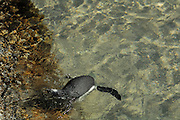Brillenpinguin (Spheniscus demersus) am Boulder?s Beach.  Der Strand von Boulder?s Beach kann auch von Besuchern zum Schwimmen genutzt werden. Am Boulder?s Beach befindet sich ein Besucherzentrum, über das man in den Nationalpark Boulder?s gelangt. Zwei Stege, die die dortige Brillenpinguinkolonie vor den Besuchern schützen, führen zum Strand von Foxy Beach. Dort leben ca. 3000 Brillenpinguine. |  The African Penguin (Spheniscus demersus), also known as the Black-footed Penguin (and formerly as the Jackass Penguin), is found on the south-western coast of Africa..Boulders Beach is a tourist attraction, for the beach, swimming and the penguins. The penguins will allow people to approach them as close as a meter (three ft).