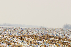 Snowy Owl (Bubo scandiacus) sits tight near a row of corn stubble in a snow covered field