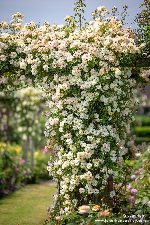 Rosa 'Phyllis Bide' growing on a pergola