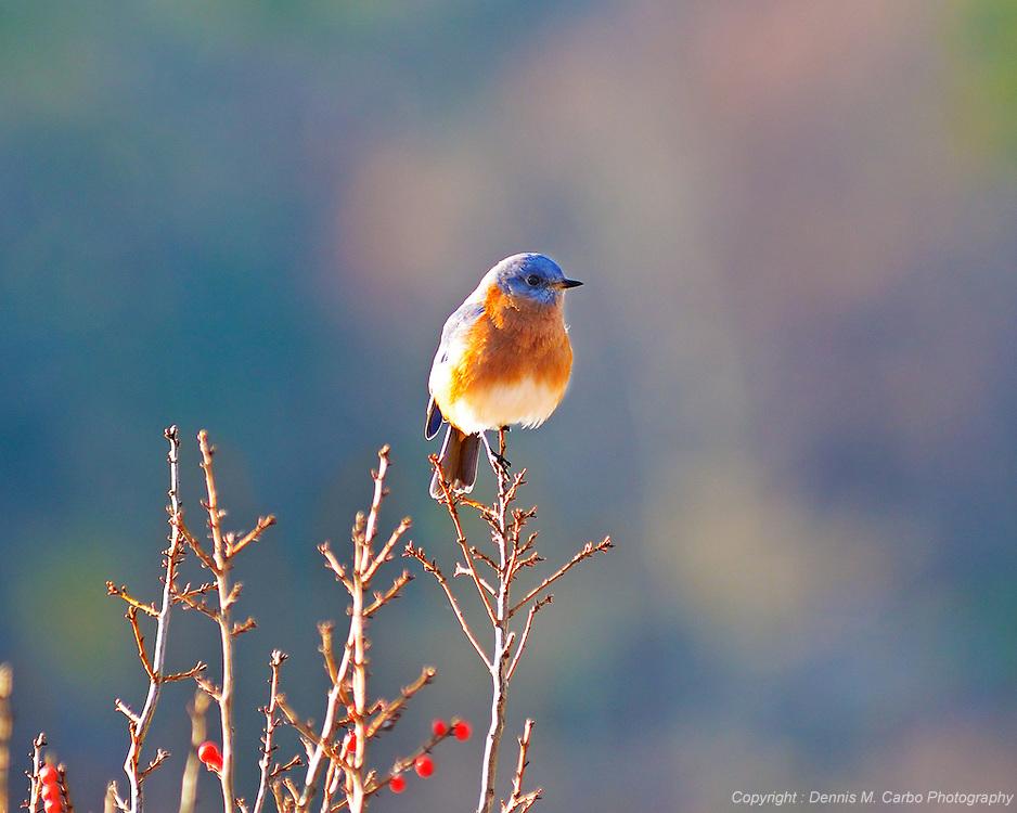 Blue Bird of Happiness