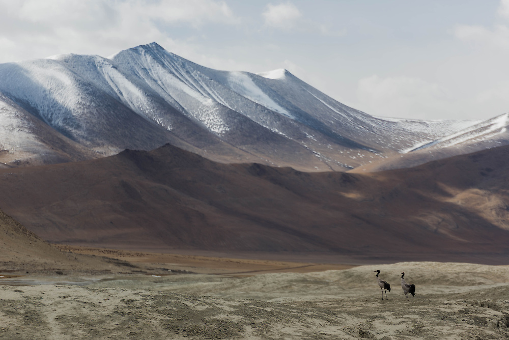 Black-necked Cranes beneath the Himalayan mountains on Ladakh's Changtang plateau