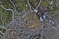 Eagles nest, bald eagle, eagle eggs,  Idaho