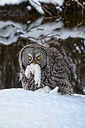 A great gray owl holding an equally ferocious small predator after an unexpected ambush.