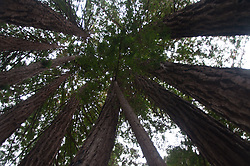 Looking Up at the Redwoods, Limekiln State Park, Big Sur, California, US