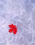 Bigtooth Maple Leaf on Ice, Zion National Park, Utah
