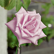 blooming pink garden rose