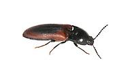 A click beetle - Ampedus sanguinolentus