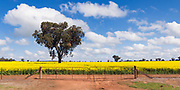 tree in a field of flowering canola crop under blue sky and cloud near Brucedale, New South Wales, Australia. <br />