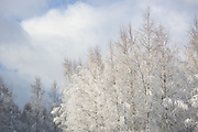 Young forest stand of birch trees (Betula sp.) on white winter day, Vidzeme, Latvia Ⓒ Davis Ulands | davisulands.com