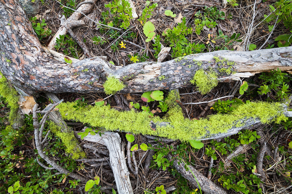 Dead wood, lichen, and pine needles on the ground in the Pasayten Wilderness, Washington.