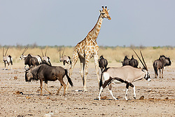 Giraffe, Gnus and Oryx at Etosha National Park, Namibia, Africa